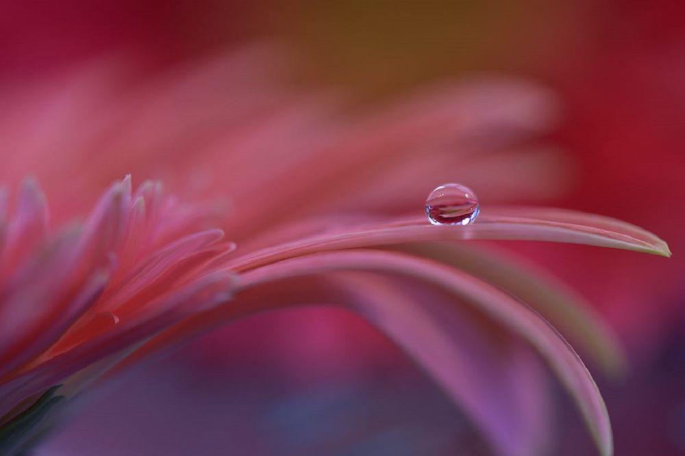 Обои для рабочего стола На лепестке цветка капля воды, фотограф Juliana Nan
