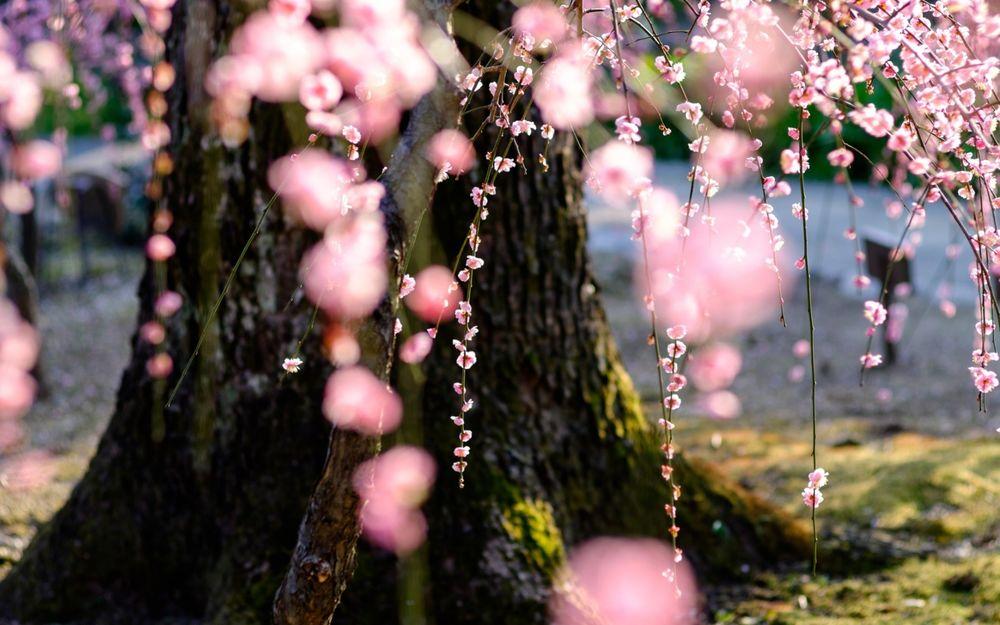 Обои для рабочего стола Цветущее дерево сакуры