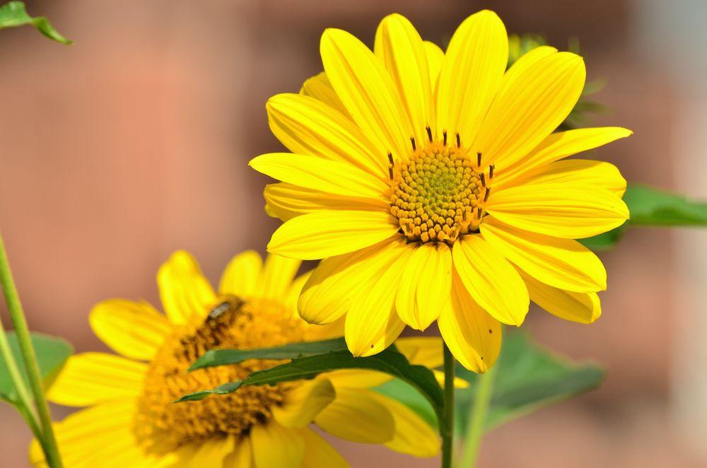 Обои для рабочего стола Два цветка подсолнуха