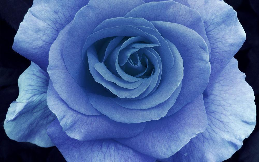 Обои для рабочего стола Раскрывшийся бутон голубой розы