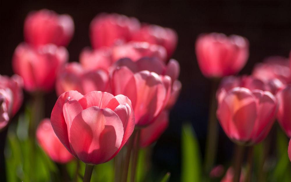 Обои для рабочего стола Розовые тюльпаны на размытом фоне