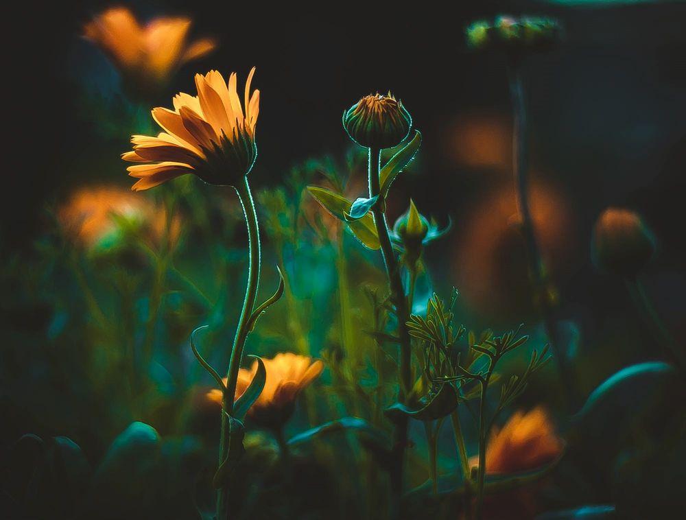 Обои для рабочего стола Цветы ноготков на размытом фоне, фотограф Kristina Manchenko