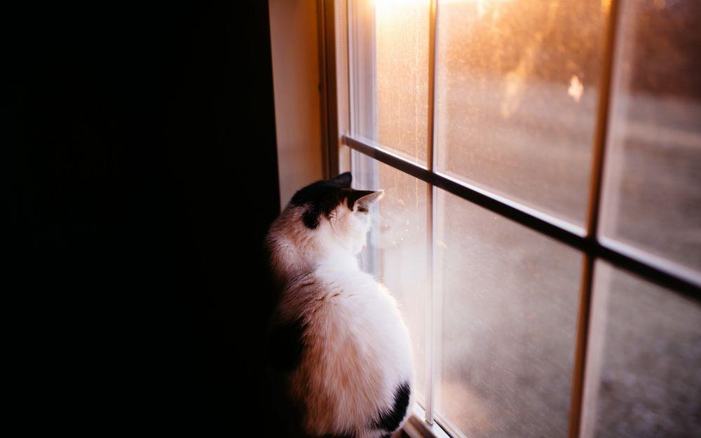 Обои для рабочего стола Черно-белая кошка сидит у окна