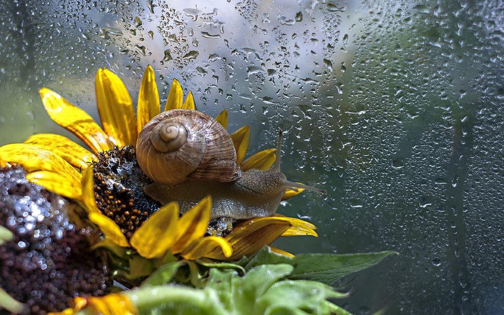 Обои для рабочего стола Улитка сидит на желтом цветке у окна в каплях воды, фотограф Марина Соколова