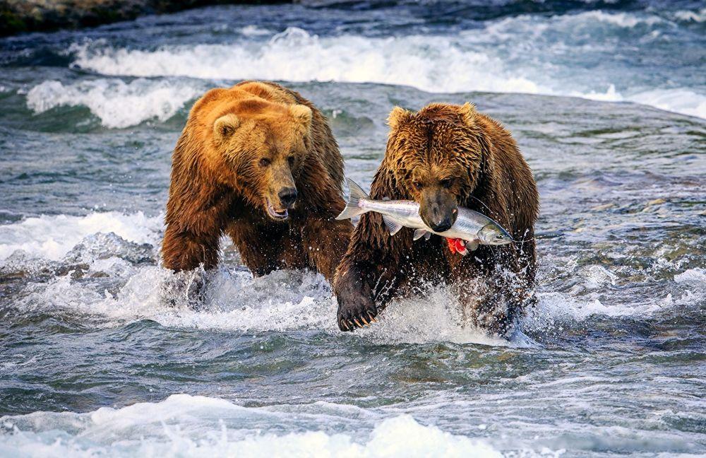 Обои для рабочего стола Два медведя ловят хариуса в быстрой реке