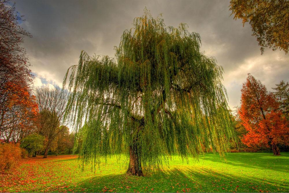 Обои для рабочего стола Одиноко растущая ива на фоне других осенних деревьев