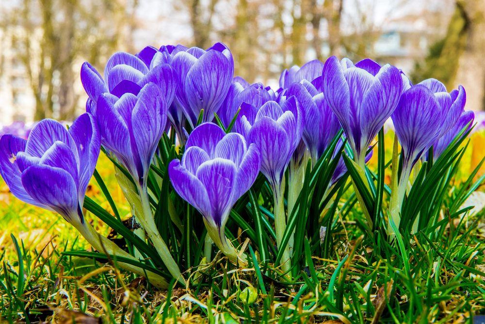 Обои для рабочего стола Весенние голубые крокусы