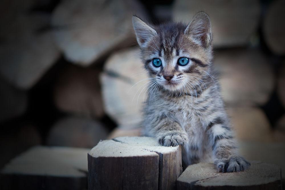 Обои для рабочего стола Голубоглазый серый котенок, фотограф Коротун Юрий