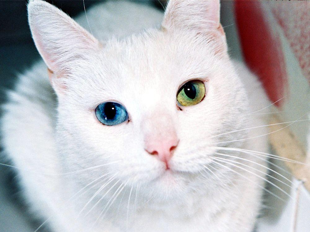 Обои для рабочего стола Белый кот с глазами разных цветов