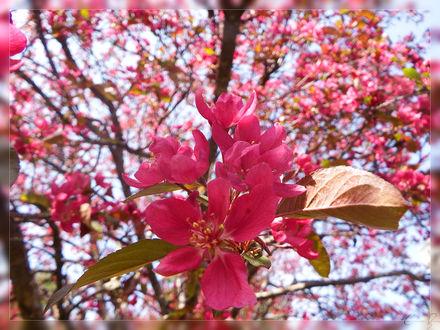 Обои Весеннее цветение сакуры, by Sparkle-Photography