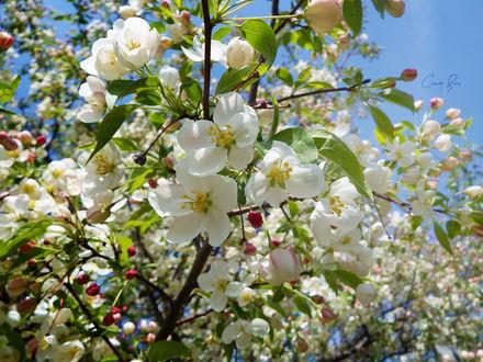Обои Весеннее цветение вишни, by Sparkle-Photography
