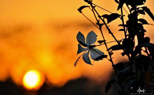 Обои Силуэт ветки цветущей китайской розы на фоне заката