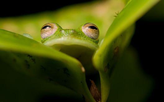 Обои Лягушка выглядывает из листьев, by Aleks Daiwer
