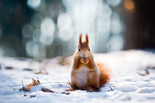 Обои Белочка стоит на снегу, сложив лапки, by Aleks Daiwer