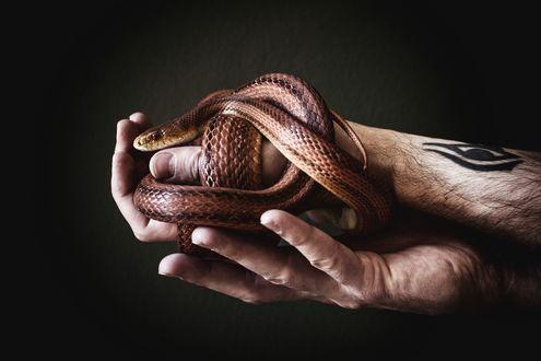 Обои Змея в мужских руках с татуировкой, by Aleks Daiwer
