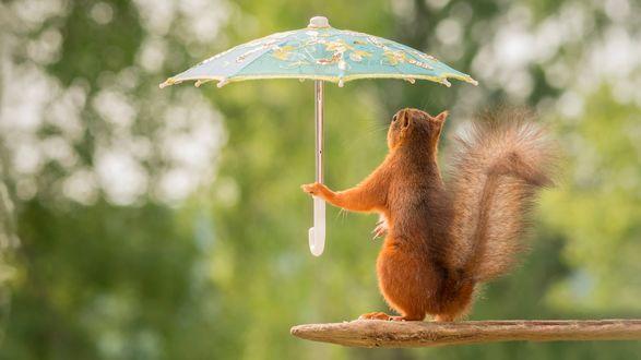 Обои Белочка, сидя на ветке, держит маленький зонт