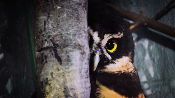 Обои Сова с желтыми глазами выглядывает из-за дерева