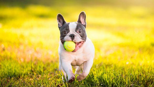 Обои Бульдог бежит по траве с теннисным мячиком в зубах