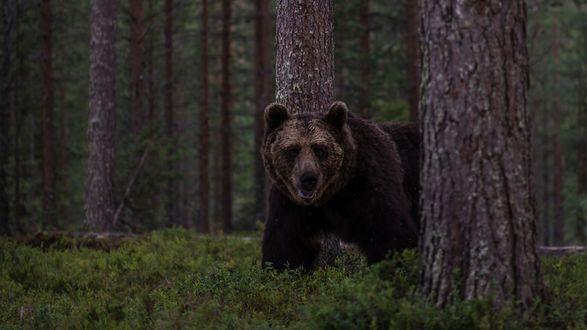 Обои Бурый медведь идет по лесу