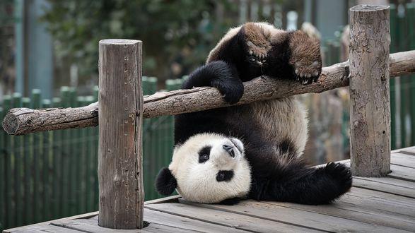 Обои Панда перевалилась через деревянный забор
