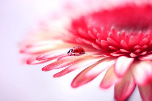 Обои Божья коровка на розовато-красном цветке
