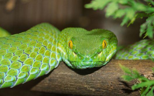 Обои Зеленая змея на ветке