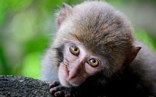 Обои Маленькая обезьянка смотрит своими большими глазами