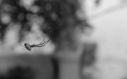 Обои Паук ползет по очень тонкой, но крепкой паутине