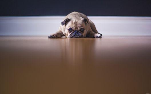 Обои Мопс с печальным видом лежит на полу