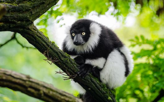 Обои Черно-белый лемур сидит на дереве