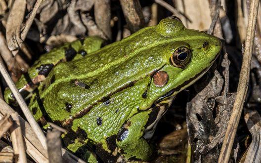 Обои Зеленая лягушка притаилась в сухой траве