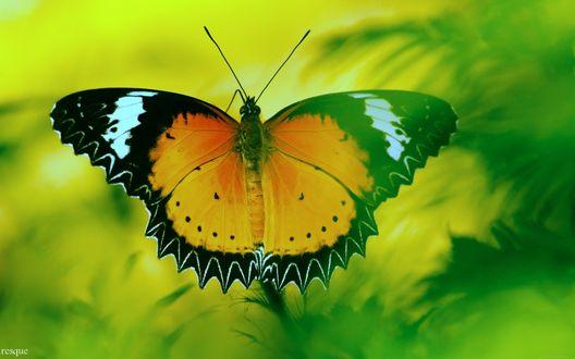 Обои Желто-оранжевая бабочка с черными и белыми узорами распахнула крылья