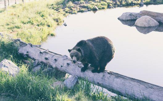 Обои Медведь перебирается по бревну, перекинутому через водоем, позади островок из камней