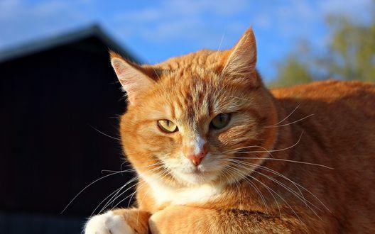 Обои Рыжий кот греется на солнышке