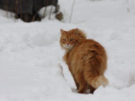 Обои Пушистый рыжий кот стоит на снегу, оглянувшись назад