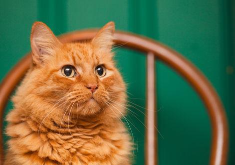 Обои Рыжий кот смотрит в с торону на зеленом фоне