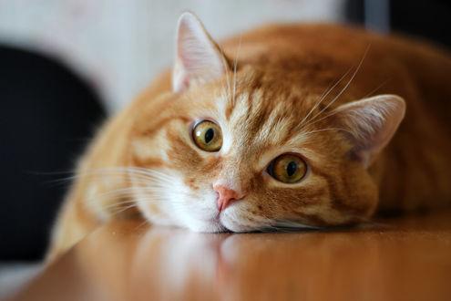 Обои Лежащий рыжий кот смотрит на нас