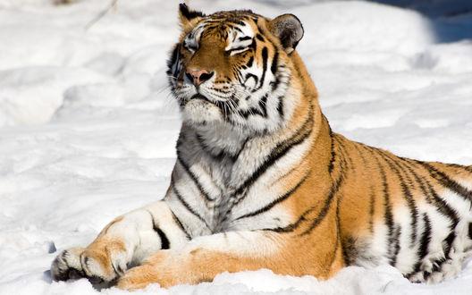Обои Тигр лежит на снегу и нежится на солнце