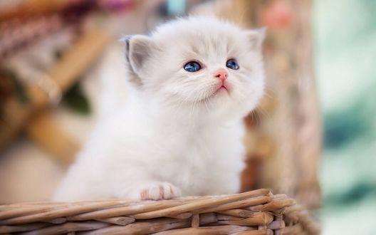 Обои Голубоглазый котенок породы рэгдолл сидит в корзинке на размытом фоне