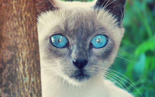 Обои Сиамский кот с ярко-голубыми глазами выглядывает из-за дерева