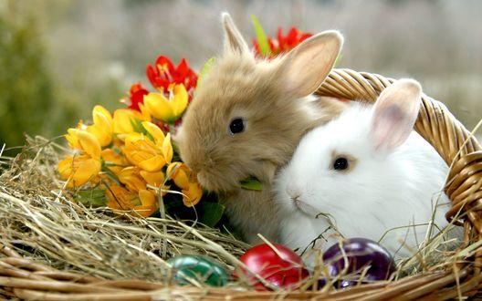 Обои Белый и рыжий кролики сидят в корзинке с цветными яйцами и тюльпанами