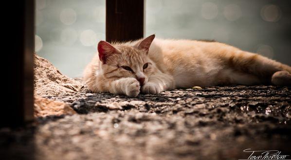 Обои Светло-рыжий кот растянулся на земле