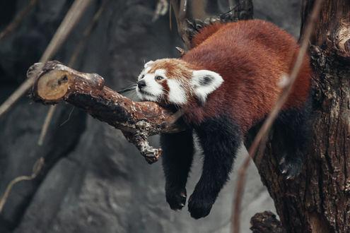 Обои Красная панда отдыхает на дереве