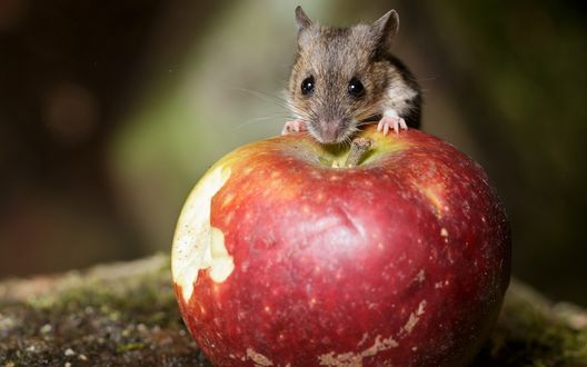 Обои Серый мышонок грызет большое красное яблоко на размытом фоне