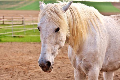 Обои Белая лошадь вблизи