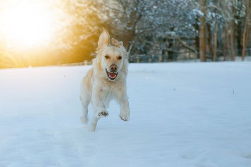 Обои Собака играет на снегу