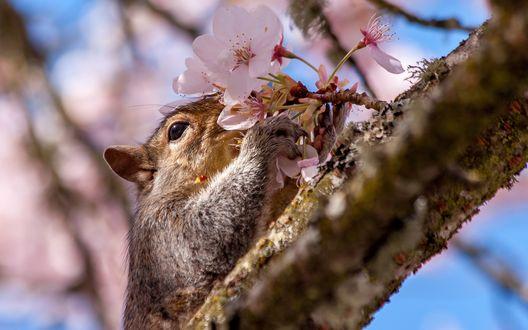 Обои Белочка сидя на ветке дерева нюхает распустившиеся цветы вишни