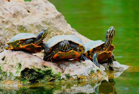 Обои Три черепахи на камне у воды