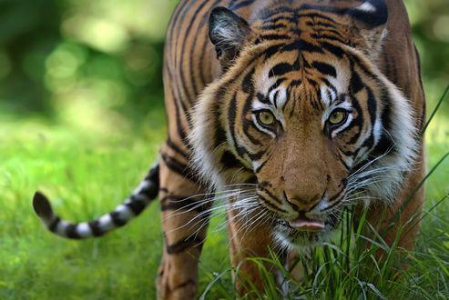 Обои Тигр идет по траве