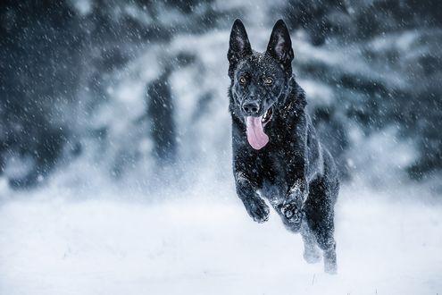 Обои Черная немецкая овчарка бежит по снегу